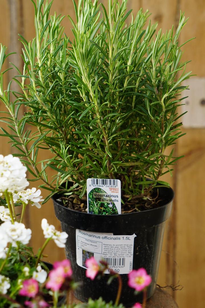 Rosemary in 1.5L pots