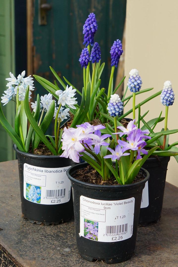 Dwarf, Spring flowering bulbs in 9cm
