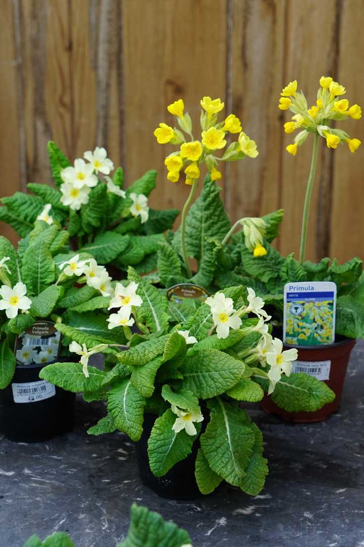 Primroses and Cowslips in flower 9cm