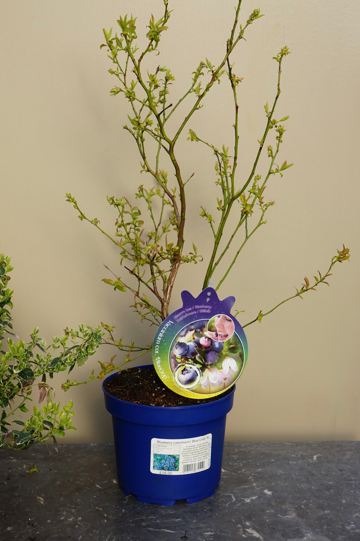 Blueberries. Well-branched plants in 4L pots.