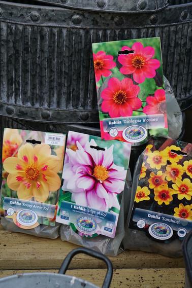 Single Flower Dahlias