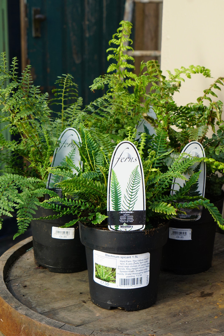 Handsome hardy ferns for shade