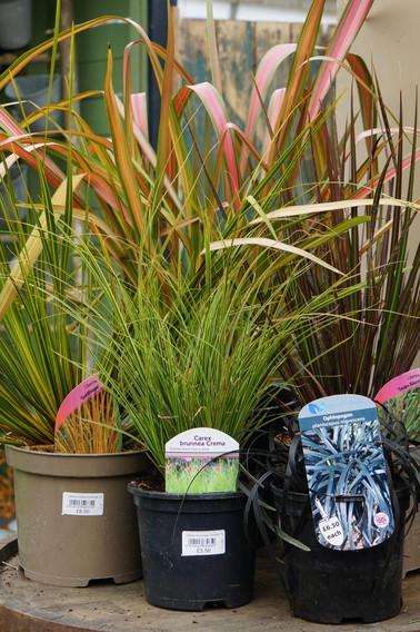Grasses, Sedges and 'grassy' narrow-leaved plants