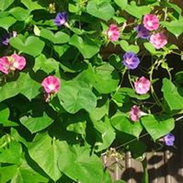 morning glories at office.jpg
