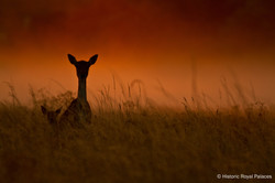 Silhouetted Fallow Deer And Fawn
