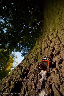Red Admiral Feeding On Tree Sap