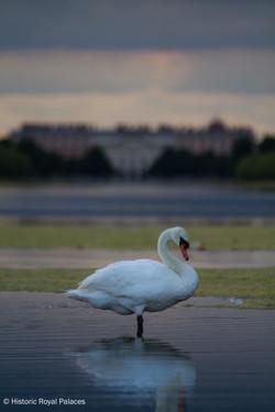 Mute Swan Palace Background