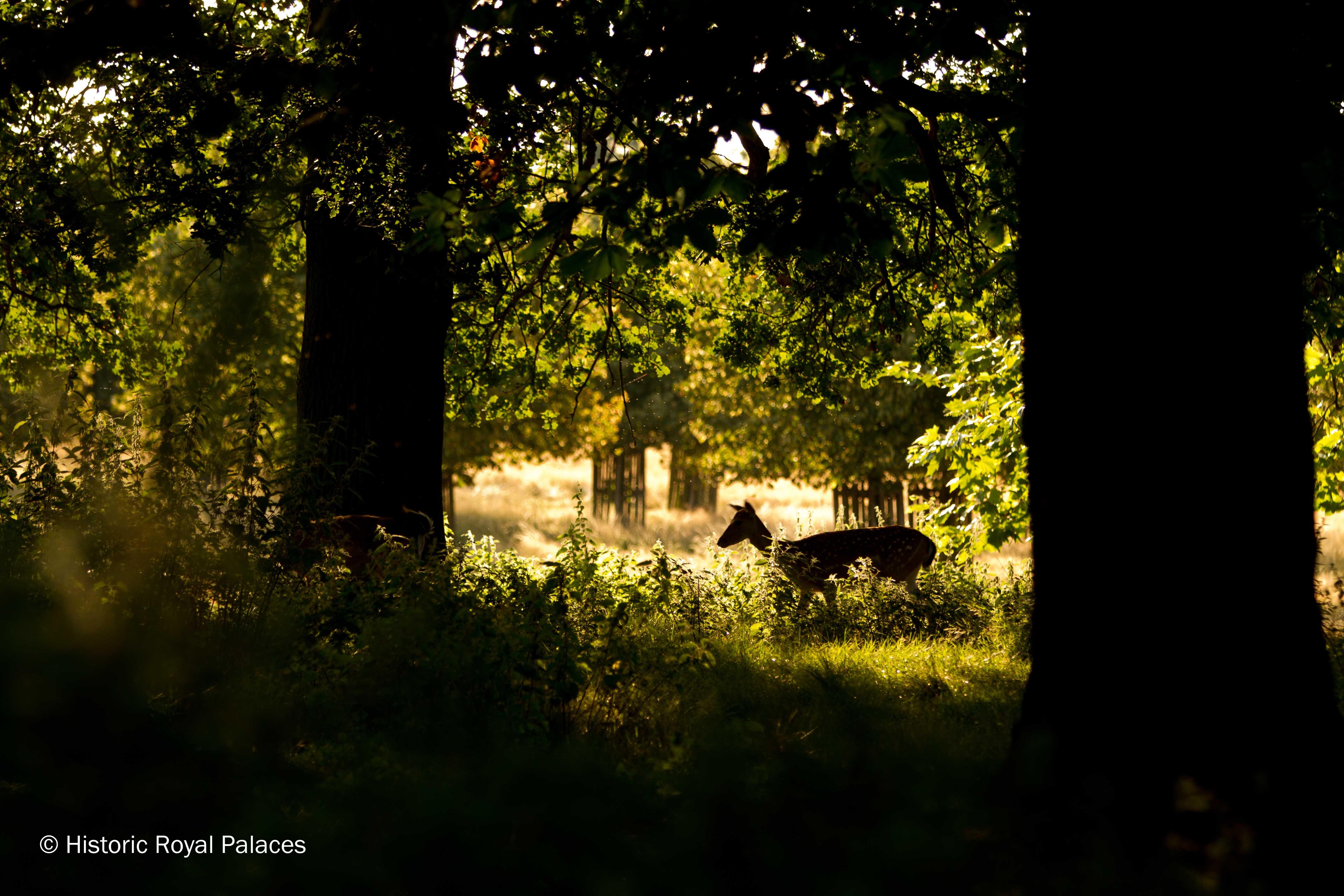 Fallow Deer In Woodland