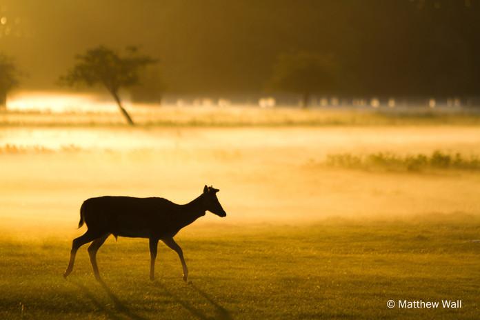 fallow deercr.jpg