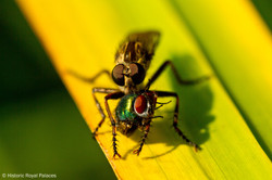 Robberfly And Greenbottle
