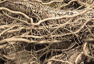 Sepia photograph of tangled branches