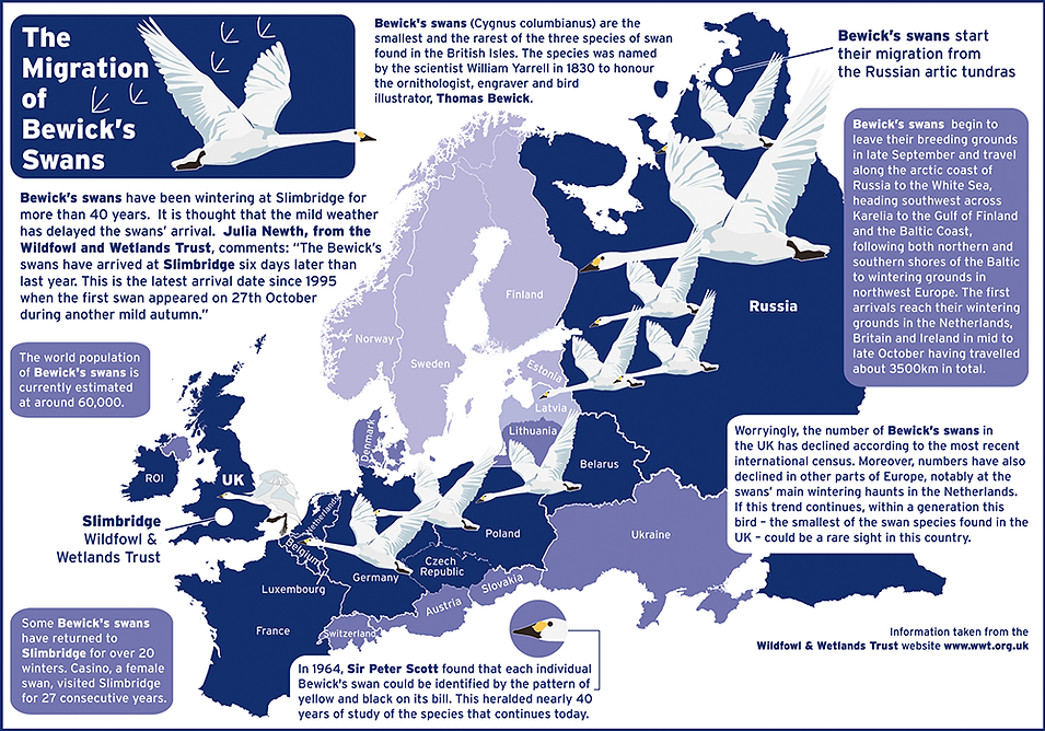 Infographic of Bewick's Swans