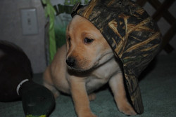 puppy in hunting cap