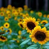 fallflower.png