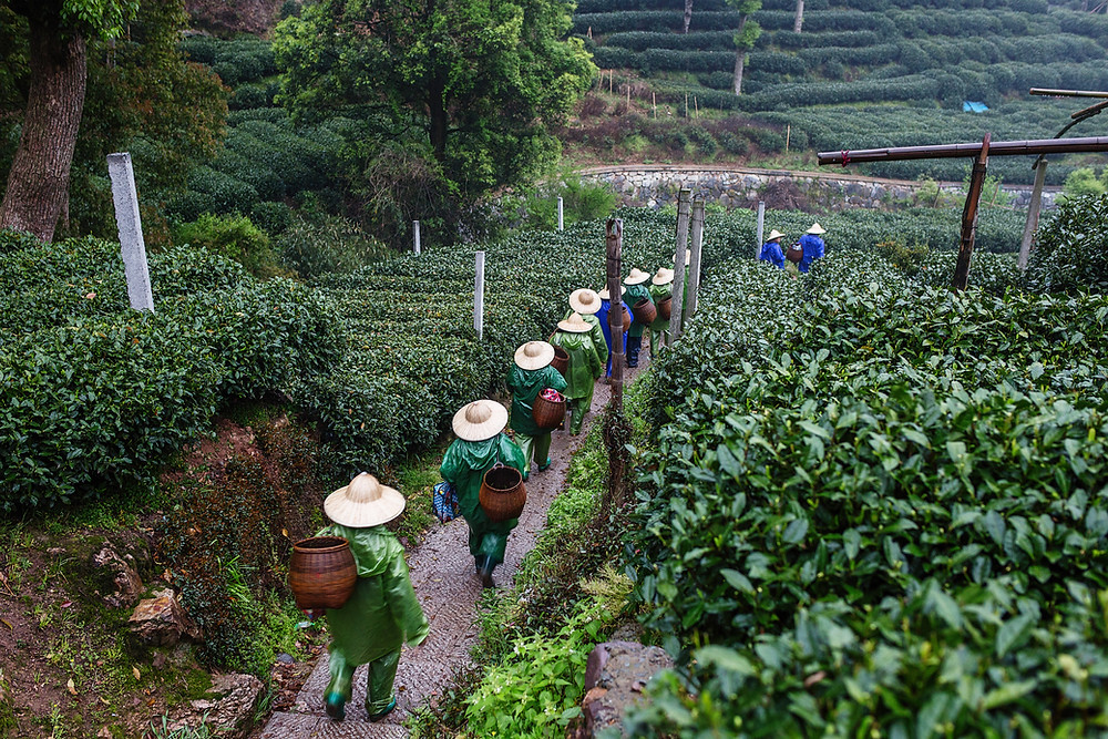 Workers walking on tea plantation