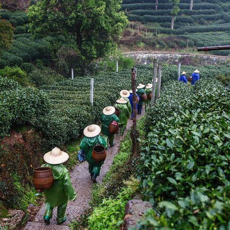 Four Key Challenges in the Tea Industry