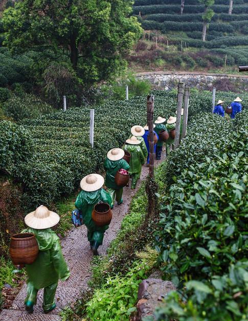 Thu hái trà xanh về