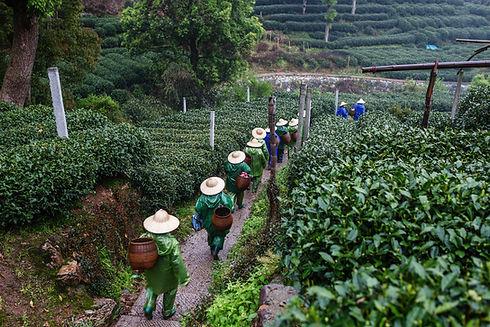 Tea Pickers