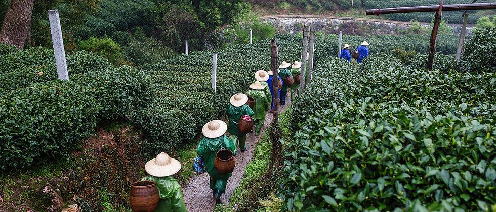 תה ירוק ופרחי  יסמין 50 גרם