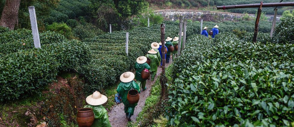recolectores de té
