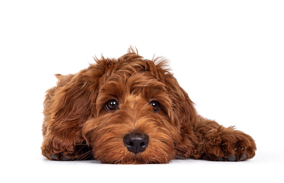 Adorable red Cobberdog aka Labradoodle dog puppy, laying down facing front head flat on th