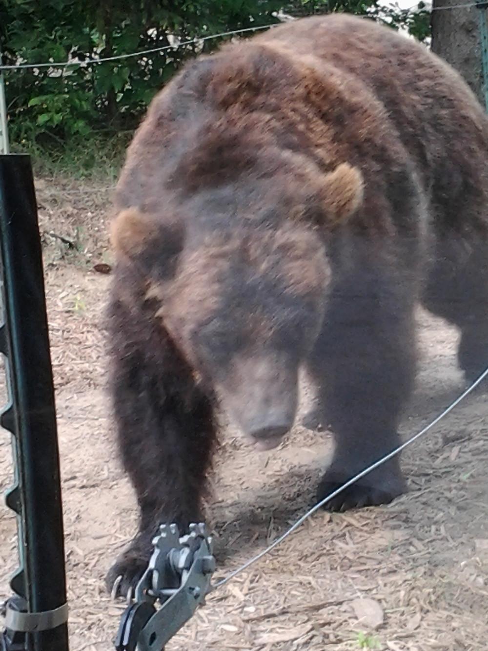 4 Zoo - Grizzly bear.jpg