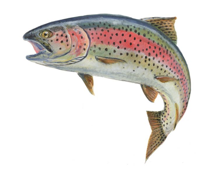 retro rainbow trout Ram Papish