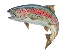 retro rainbow trout Ram Papish