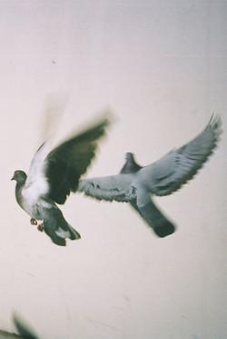 wood pigeons flying