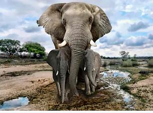 premimium elephant.png