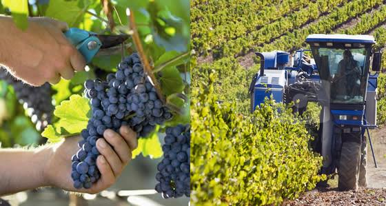 用機器摘葡萄釀的酒真係差D?