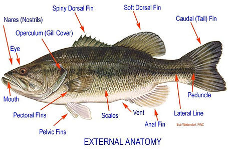 Fish External Anatomy