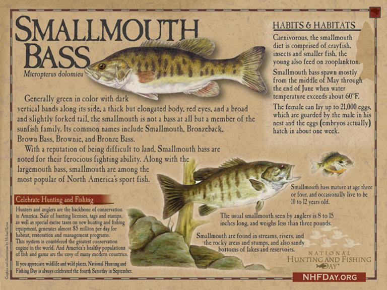 Smallmouth Bass NHFDay.ORG