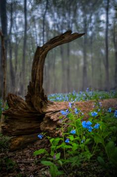 Among the Bluebells