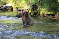 Brown Bear Russina River Cooper Landing