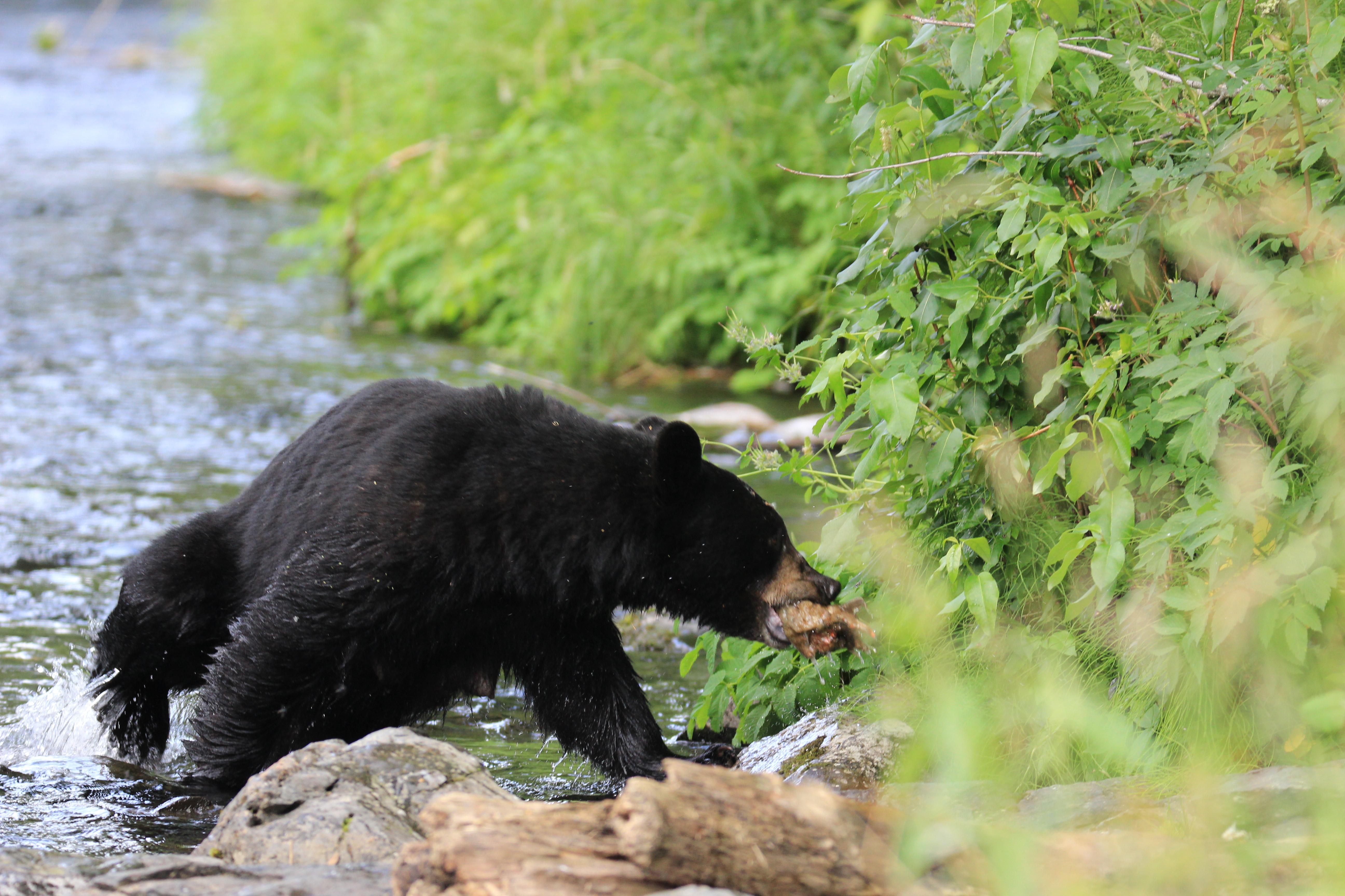 Black Bear Russian River Cooper Landing