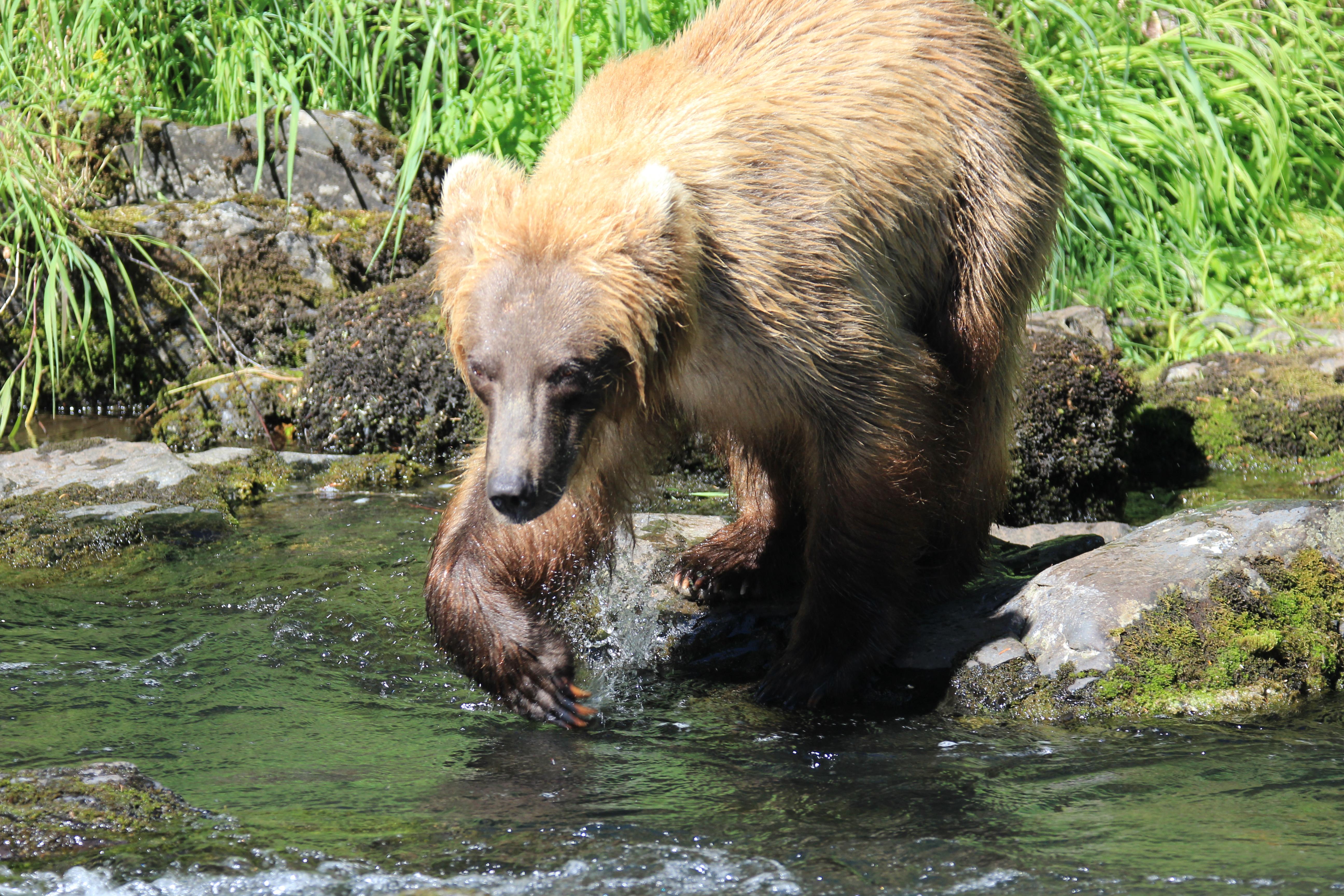 Brown Bear Russian River
