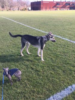 Walksfar dog walking services