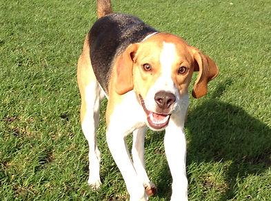 Beagle Walksfar Dog Walking Hackney