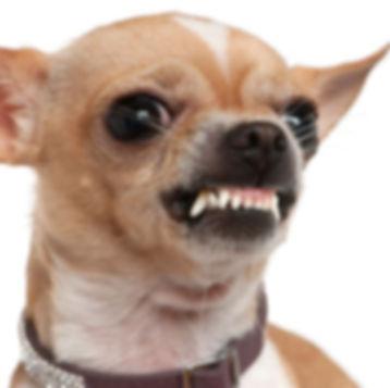 Chihuahua dog baring teeth