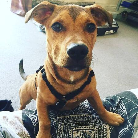 Dachschund x Staffordshire Bull Terrier