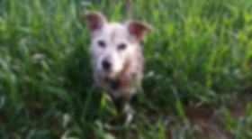 Photo of Jack Russell cross, Rosie