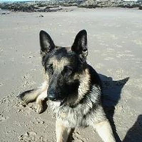 Photo of German Shepherd Dog Delta at the beach