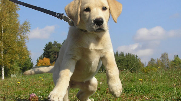 Labrador pup pulling on lead.jpg