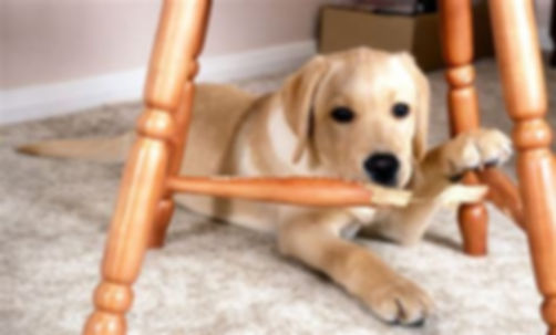 Puppy chewing furniture