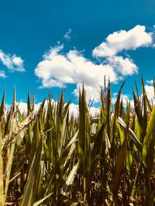 Corn... makes Wiskey