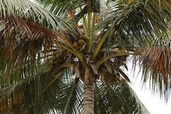 Kokonussbaum