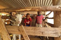 Unsere Jungen versorgen die Ziegen