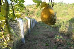 Zitronengarten