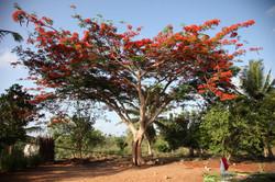 Roter Baum auf unserem Grundstück